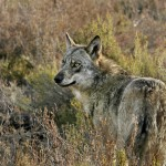 Lobo iberico por Andoni Canela 01