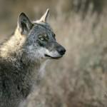 Lobo iberico por Andoni Canela 02