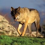Lobo iberico por Antonio Sabater 01