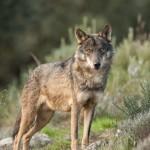 Lobo iberico por Javier Valladares 01