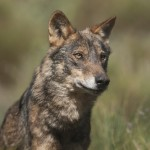 Lobo iberico por Javier Valladares 02