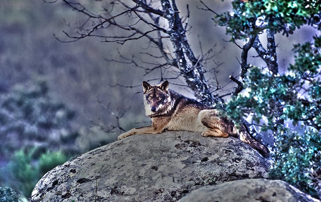 Lobo Asturias Foto: Antonio Sabater