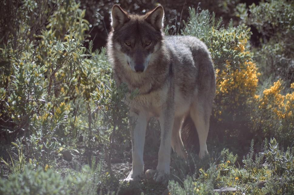 lobo mas 9