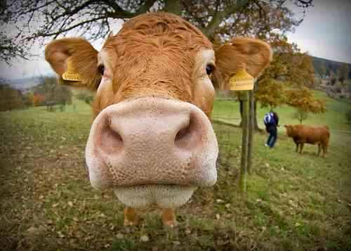 Vaca de Adrian.jpg