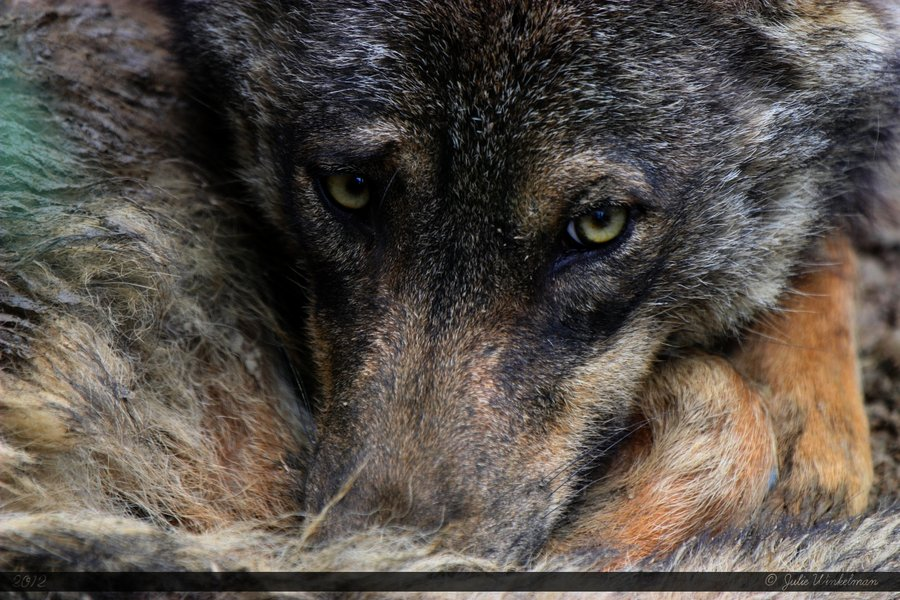 iberian_wolf_17_by_wolfstory-d52mhnv