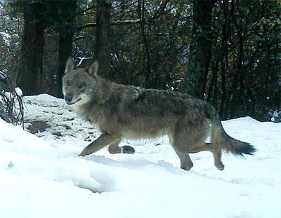 lobo fapas