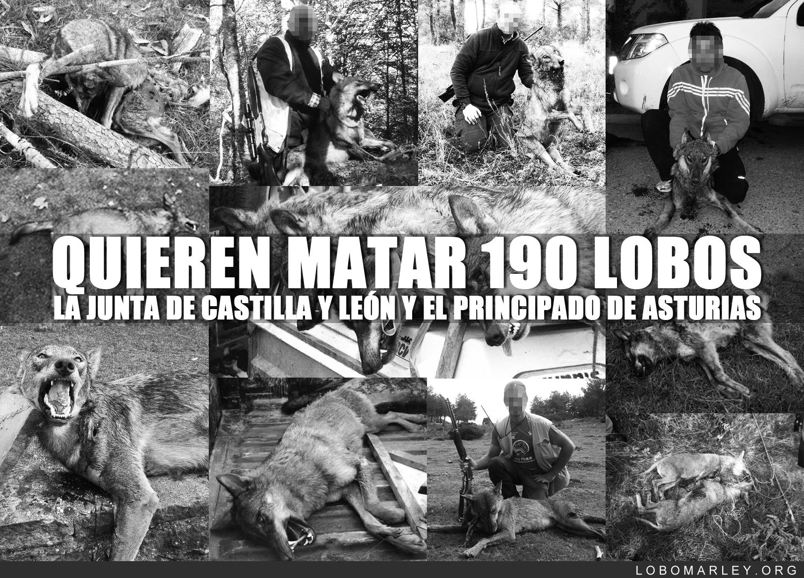 Petición firmas de Lobo Marley evitar masacre de 190 lobos en españa año 2014.