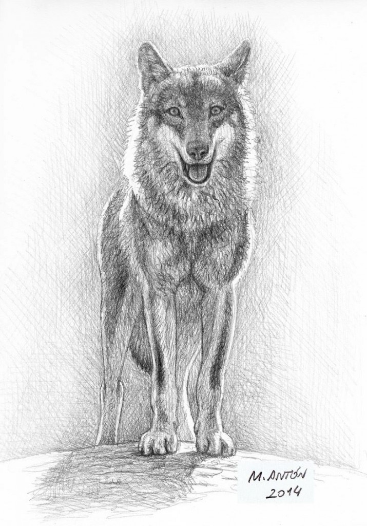 Ilustración lobo iberico Mauricio Antón