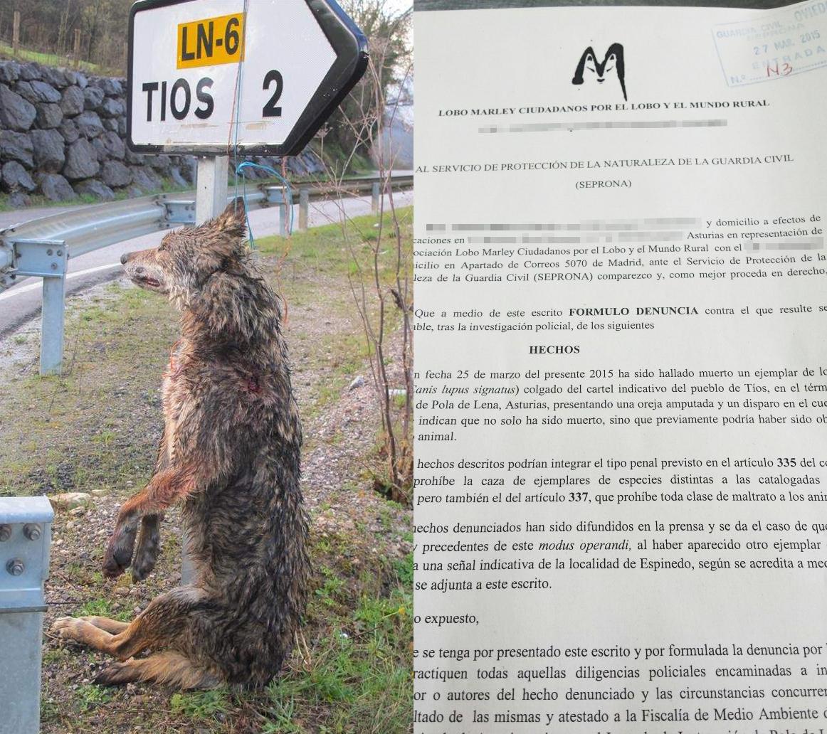 Denuncia lobo colgado Lobo Marley Asturias