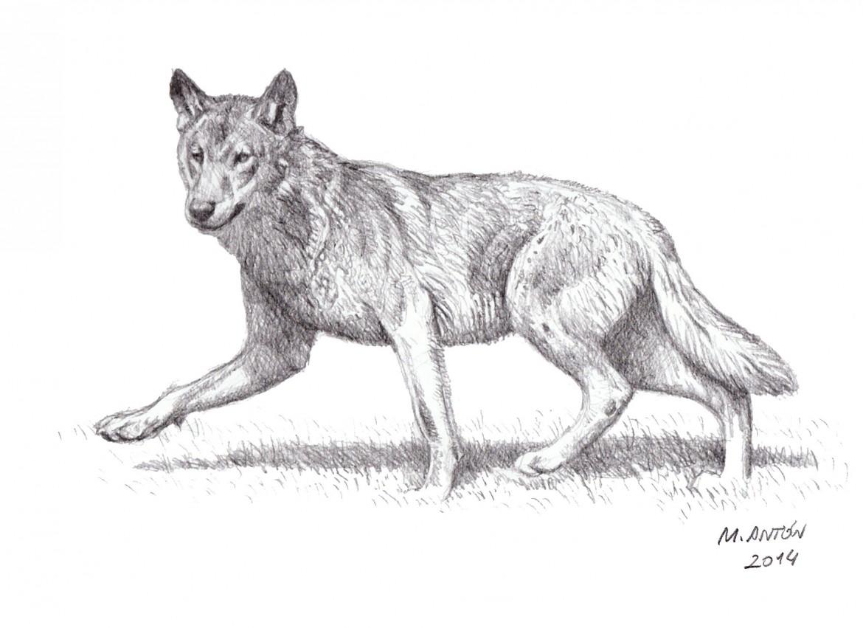 lobo al trote mauricio anton