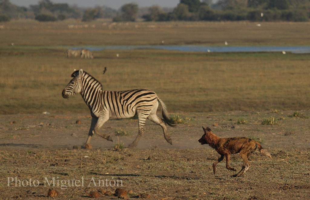 wild-dog-and-zebra-chobe-2016-2-low-res